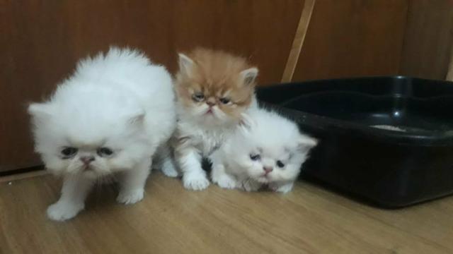 Gatos persas e himalaios