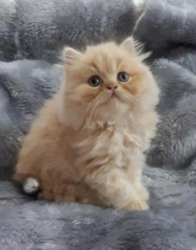 Filhotes Gatos Persas Legítimos (já Disponíveis P/