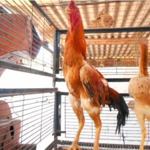 Ovos Galados De Shamo Osaka Amarelo 24 Ovos Frete Gratis