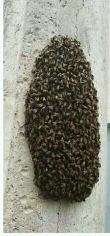 Fazendo controle de abelha vespa em toda Goiânia