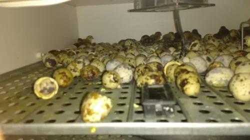 60 Ovos Galados De Codornas Gigantes (misto) Férteis