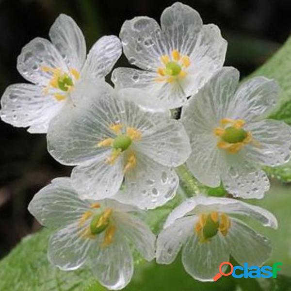 10 Pcs Japonês Flor de Lótus Sementes de Flor Branca