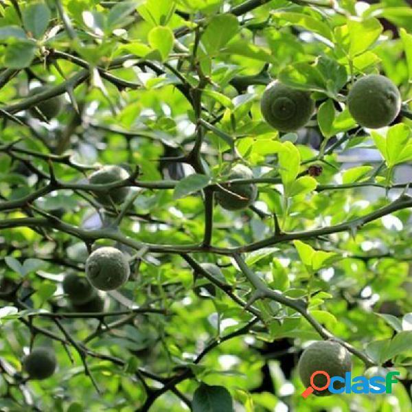 Egrow 25 Unidades / pacote Tangerina Verde sementes