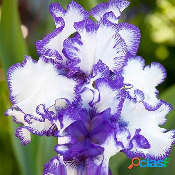 Egrow 50 Pçs / saco Iris Tectorum Sementes Sementes de Iris