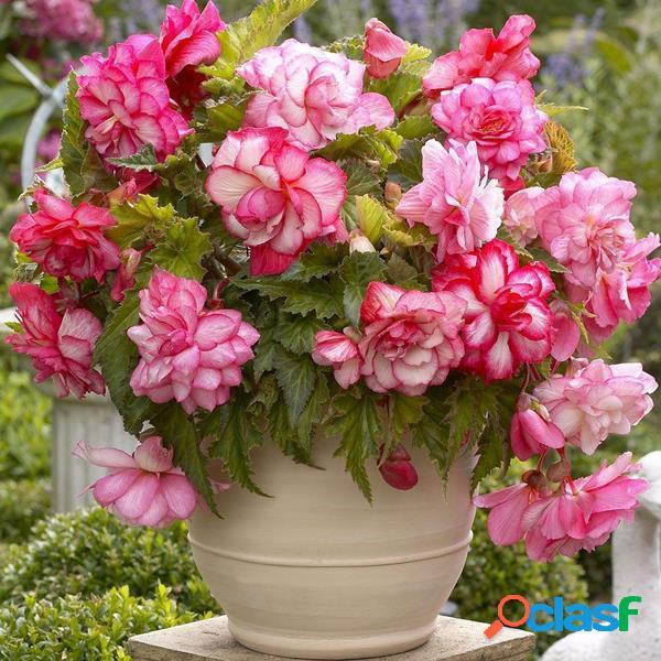 100 Pcs Rosa Begônia Flor sementes Jardim Mágico Bonsai