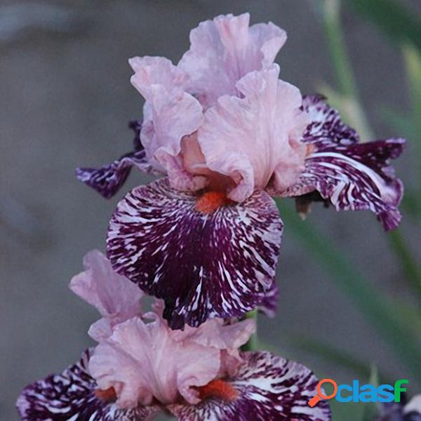 Egrow 50 Pçs / saco Rare Iris Tectorum Sementes Iris Bonsai