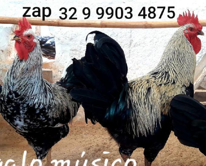 Ovos galados Férteis da raça galo músico cantor canto